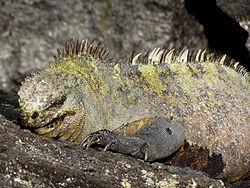Un iguane marin mâle, se reposant sur un rocher, sur l'île de Fernandina.