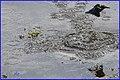 Martin-pêcheur d'Europe Alcedo atthis (48755807242).jpg