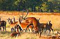 Mating Red Deer.jpg
