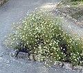 Matricaria chamomilla plant (22).jpg