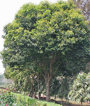 Description de l'image Maulsari (Mimusops elengi) trees in Kolkata W IMG 2848.jpg.