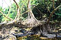 Mawlynnong's Living Root Bridge in Meghalaya, India.jpg