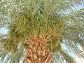 Medinet Habu date palm1.JPG