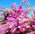 Mediterranean flower.jpg