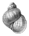 Megalovalvata baicalensis shell.png