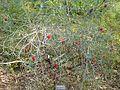 Melaleuca phoenicea (habit, Kings Park).jpg