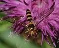 Meliscaeva cinctella (female) - Flickr - S. Rae.jpg