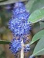 Memecylon umbellatum flowers at Peravoor (19).jpg