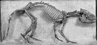 Meniscotherium - Skeleton.