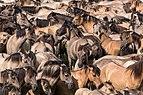 Merfeld, Wildpferdefang -- 2014 -- 0993.jpg