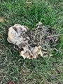 Meripilus giganteus 61693684.jpg