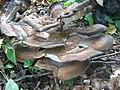 Meripilus giganteus Karst. (15893086612).jpg