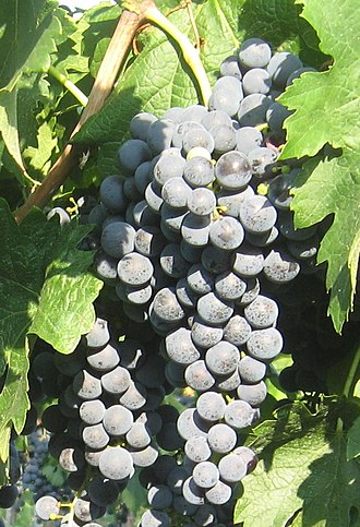 Abouriou - Through Magdeleine Noire des Charentes, Merlot (pictured) is either a half-sibling or grandchild of Abouriou.