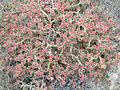 Mesembryanthemum crystallinum Habitus 2011-7-03 LagunadelaMata.jpg
