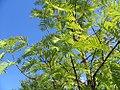 Metasequoia glyptostroboides 1zz.jpg
