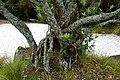 Metrosideros excelsa in Auckland Botanic Gardens 03.jpg