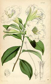 Metternichia principis, Illustration (Quelle: Wikimedia)