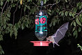 Mexican Long-Tongued Bat at hummingbird feeder.jpg