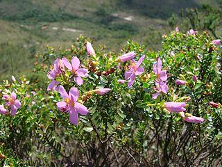 <i>Microlicia</i> Genus of Melastomataceae plants