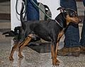 Miezynarodowa wystawa psow rasowych katowice 2012 10.jpg