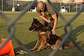 Military working dogs sink their teeth in explosive, drugs detection training 121204-M-RB277-001.jpg