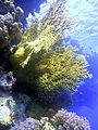 Millepora dichotoma Umm El Kararim 464.JPG