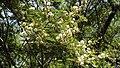 Mimosa galeottii.jpg