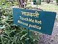 Mimosa pudica in September in India.jpg