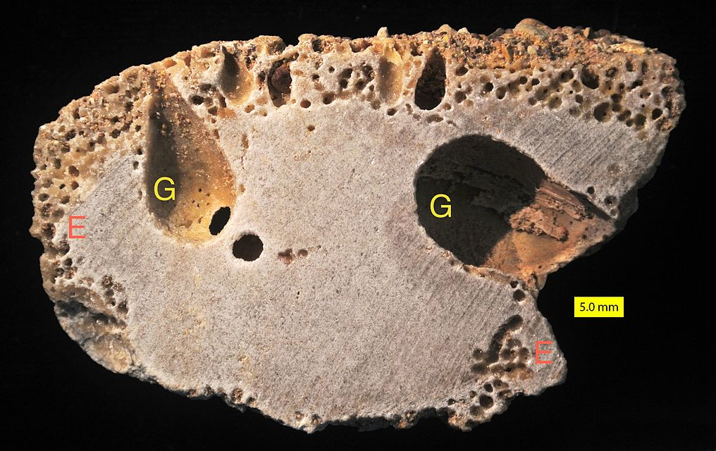 [Image: 1016px-Miocene_Bored_Cobble_Cut_labeled.jpg]