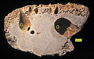 Gastrochaenolites - Gastrochaenolites (G) and Entobia (E) in limestone cobble from the Los Banós Formation, Upper Miocene, SE Spain.