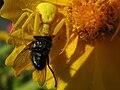 Misumena vatia female eating fly.jpg