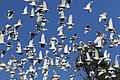 Mixed Corella flock, Bridgewater, Vic. (32828154552).jpg