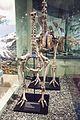 Moa skeletons, Otago Museum, 2016-01-29.jpg