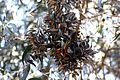 Monarch butterflies in Santa Cruz-11.jpg