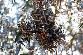 Lepidoptera migration - Monarch butterfly  is the best known migrant amongst the Lepidoptera.