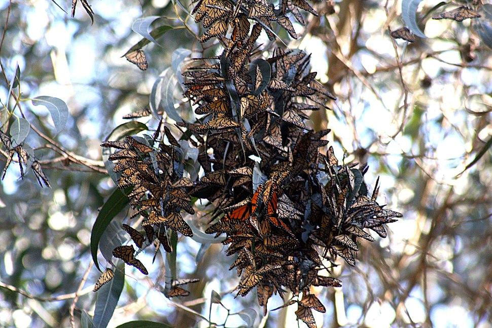 Monarch butterflies in Santa Cruz-11