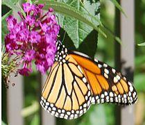 Monarchonbutterflybush.jpg