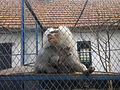 Mono en zoo de Rădăuţi.jpg