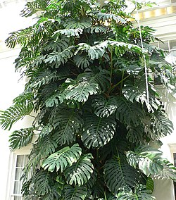 meaning of monstera