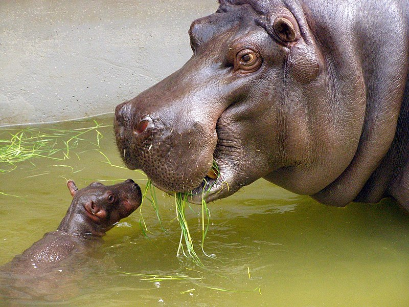File:Mother and very small baby hippo.jpg