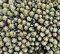 Mount Ribaue - moss (9774259525).jpg