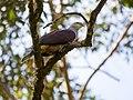 Mountain Imperial Pigeon (13890452533).jpg