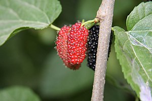 English: Black Mulberry fruit