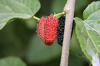 Morus (plant) - Mulberry fruit in Libya