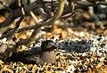 Murphy's petrel, Ducie island4.jpg