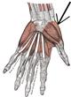 Musculusopponenspollicis.png
