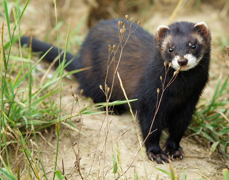 Can Ferrets Transmit Diseases To Dogs