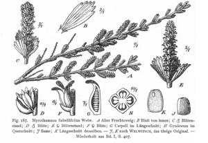 Myrothamnus flabellifolius - M. flabellifolius, from Vegetation der Erde (1915)