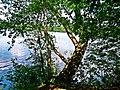 NSG Boberger Niederung Sprungbaum am Baggersee.jpg