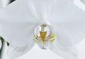 Nachtfalter Orchidee, Phalaenopsis 05a.JPG